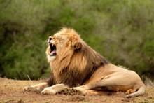 Male Lion (panthera Leo) Roaring