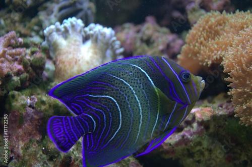 Fotografie, Tablou  BLUE STRIPPED TROPICAL FISH