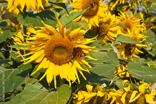 In de dag Zonnebloem Schmetterling in Blüte einer Sonnenblume