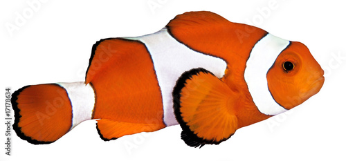 Fotografie, Tablou  A colorful clown anemonefish isolated on white background