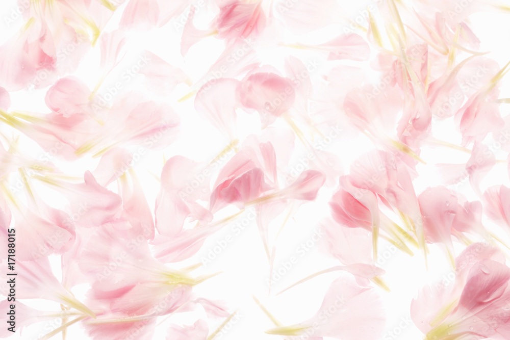 Fototapeta カーネーションの花びら