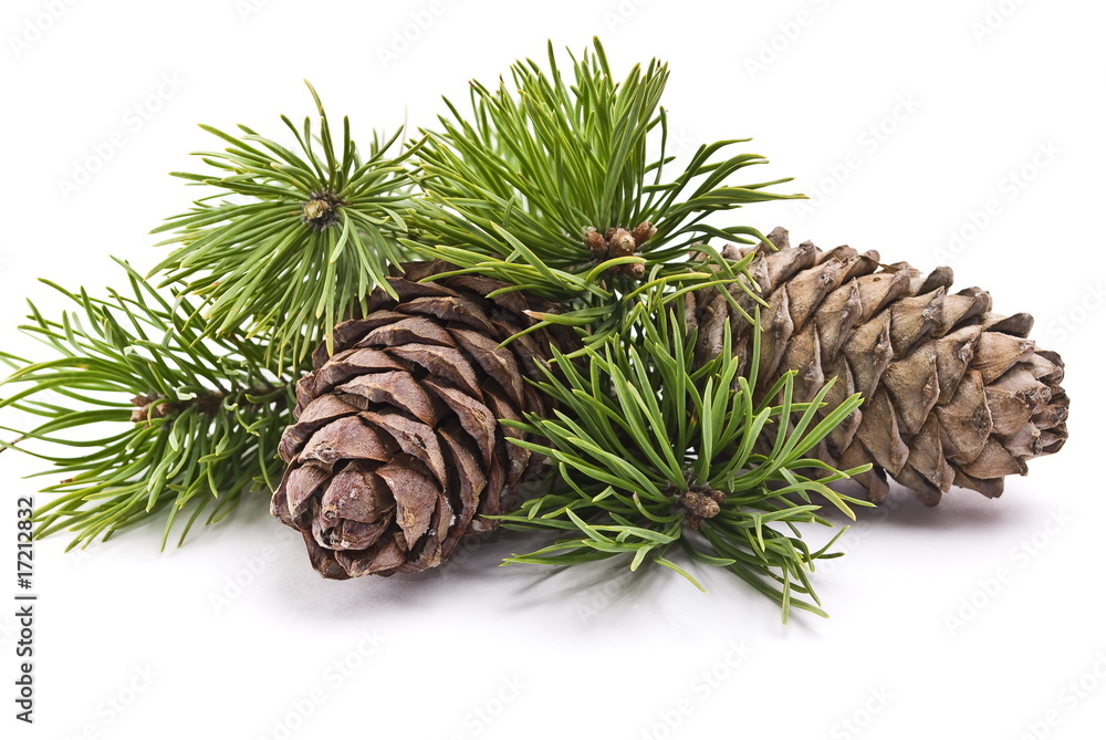 Fototapety, obrazy: Siberian pine cones with branch