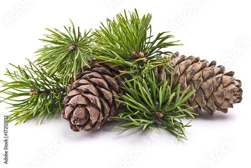 Obraz Siberian pine cones with branch - fototapety do salonu
