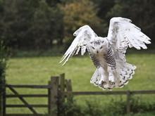 Snowy Owl (Bubo Scandiacus) About To Strike