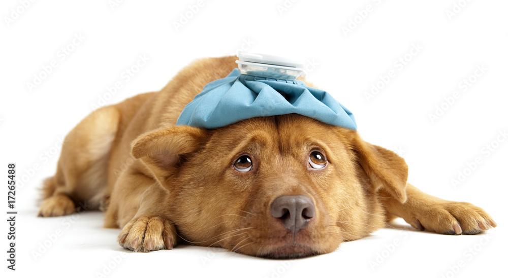 Fototapeta Sick Dog