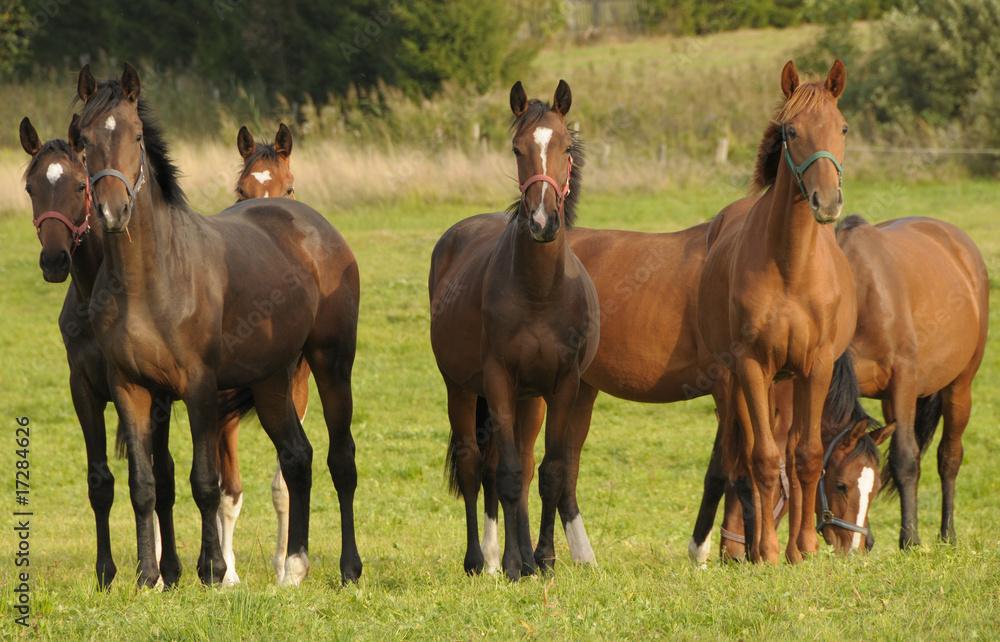 Fototapety, obrazy: konie na pastwisku