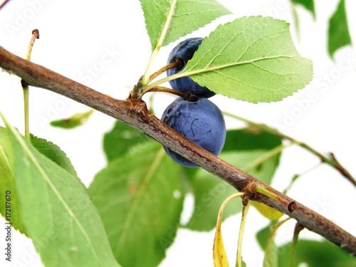 Photo  Prunus spinosa
