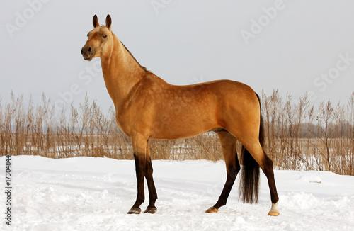 Photo  Golden horse
