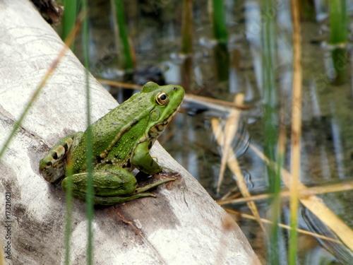 Fotobehang Kikker La grenouille au repos.