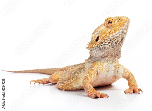 Slika na platnu bearded dragon