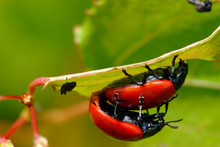 Red Leaf Beetles Reproduction