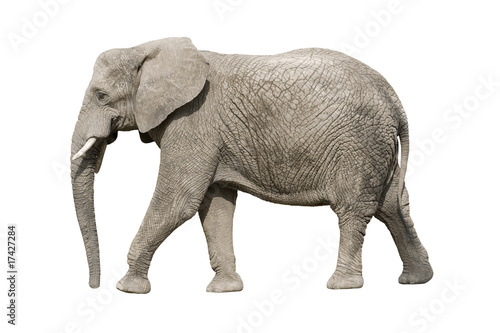 Foto op Aluminium Olifant African elephant with clipping path