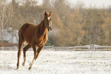 Horse running on snow at the beginning of winter