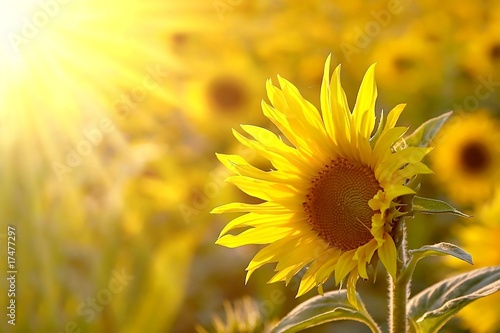 Deurstickers Zonnebloem Sunflower on a meadow in the light of the setting sun