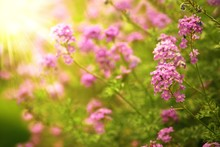 Pink Verbena Flowers In The Fi...