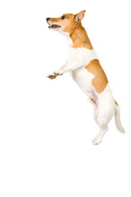 Jack Russel Is Jumping High