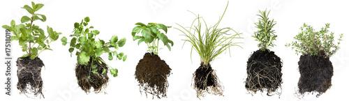 Fototapeta Herb Seedlings obraz