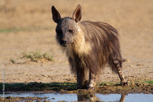 Poster Hyène Brown hyena, Kalahari, South Africa