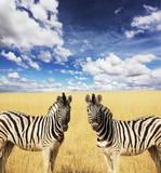 Fototapeta Zebra - Zebras