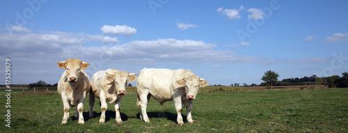 Poster de jardin Vache trois vaches panoramiques
