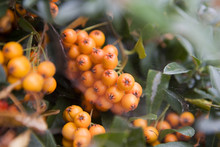 Firethorn (Pyracantha) Berries Clusters   With Cobweb
