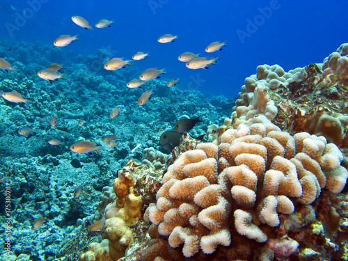 Tuinposter Onder water Hawaiian Reef with Coral and fish