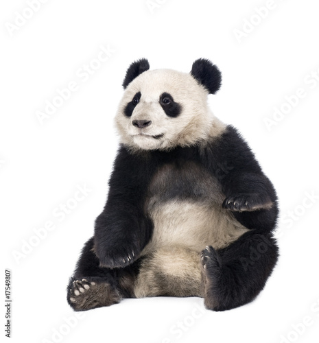Stickers pour porte Panda Giant Panda, 18 months old, sitting against white background