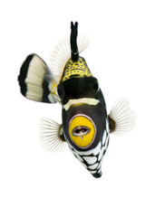 Clown Triggerfish, Swimming Ag...