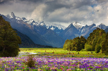 Mountain Landscape With Blossoming Field, New Zealand
