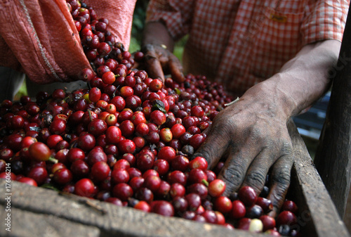 Foto op Plexiglas Koffiebonen Coffee beans - Guatemala