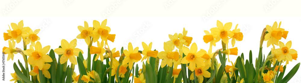 Fototapety, obrazy: Spring daffodils border