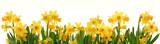 Fototapeta Kwiaty - Spring daffodils border