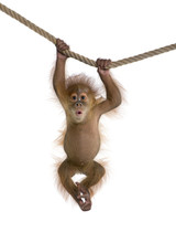 Baby Sumatran Orangutan (4 Mon...