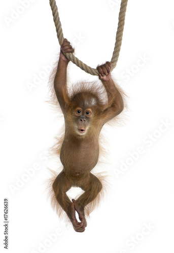 Foto op Aluminium Aap Baby Sumatran Orangutan (4 months old), hanging on a rope