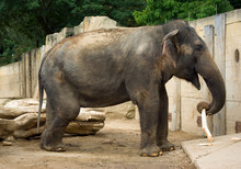 Asian Elephant Playing With Stick