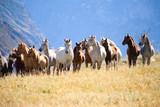 Fototapeta Konie - A herd of horses
