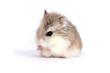canvas print picture roborovski hamster
