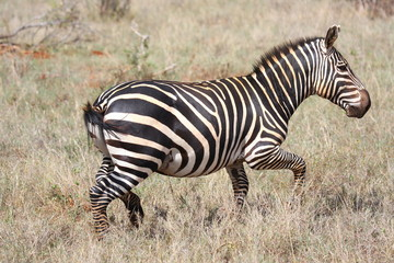 Fototapeta na wymiar Zebra Africa Tanzania