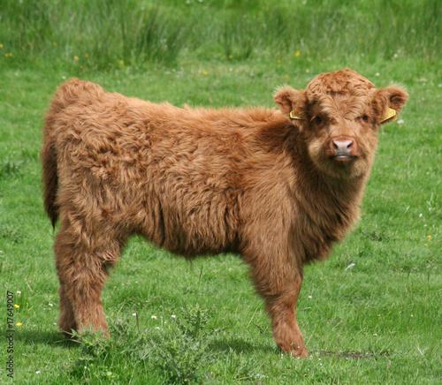 Fototapeta Highland calf obraz