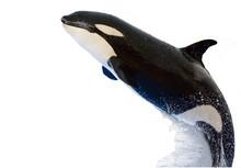 A Killer Whale, Orcinus Orca, ...