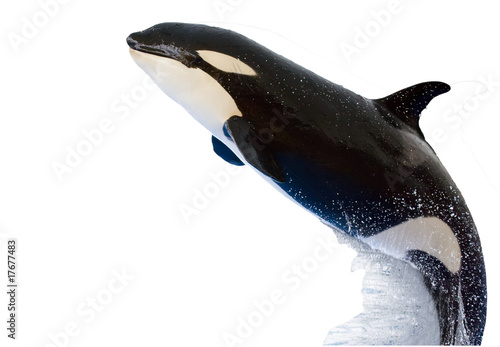 Poster Dolfijnen A killer whale, Orcinus Orca, isolated on white