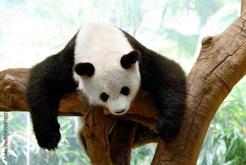 Fotografija  Panda
