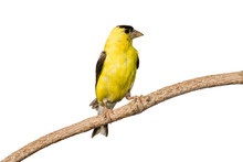 American Goldfinch Profiles Hi...