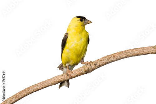 Fototapeta american goldfinch profiles his yellow plumage