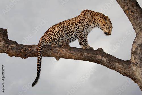 Keuken foto achterwand Luipaard Leopard (Panthera pardus) sitting in a tree, South Africa