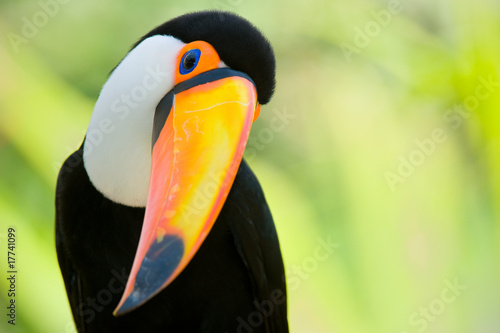 Head close-up of a Toucan