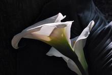 Flower Of White Calla