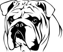 English Bulldog - Portrait