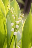Lilly of the valley in the forest at sunrise