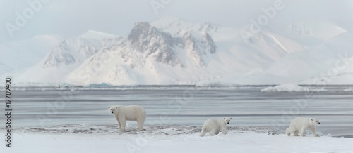 La pose en embrasure Ours Blanc 3 polar bears